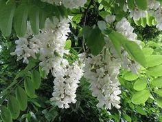 Robinia akacjowa - to charakterystyczne drzewo o niskim pniu tworzące bujną, nieregularną koronę. Średnia jej wysokość nie przekracza 20-25 metrów. Wywodzi się