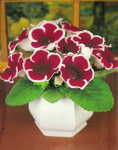 Gloxinia Indoor Plants, Indoor Garden, Potted Plants, Garden Plants, Live Plants, Pretty Flowers, Elegant Flowers, Spring Blooms, Houseplants