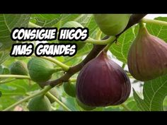 5 Consejos para unos Higos mas Grandes | Huerta Orgánica - YouTube Fig Fruit, Plant Zones, Succulents, Projects To Try, Vegetables, Plants, Youtube, Food, Medicine