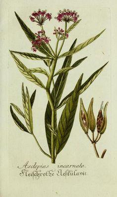 Asclepias incarnate (Swamp Milkweed). Plate from 'Plantarum indigenarum et exoticarum icones ad vivum coloratae' (1788). archive.org