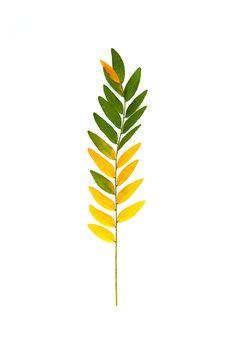 mountain ash leaf (mary jo hoffman)