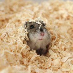 Emily the Hamster by ~taintedhybrid on deviantART