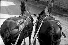 Származási helye » Helység: Felcsík (Ţara Ciucului) » Megye: Hargita (Harghita)  Készítés ideje: 1959 Készítette: Vámszer Géza Lelőhely: Kriza János Néprajzi Társaság fotóarchívuma Tao, Folk, Horses, Animals, Animales, Popular, Animaux, Forks, Animal