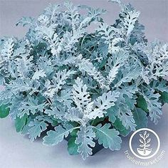 Container Gardening Ideas Silver-gray Jacobaea maritima 'Silverdust,' isolated on a gray background. Landscaping Plants, Garden Plants, House Plants, Planting Seeds, Planting Flowers, Potted Flowers, Flower Gardening, Dwarf Plants, Container Gardening Vegetables