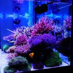 2559 best aquariums images in 2019 saltwater aquarium saltwater