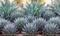 Agave 'Blue Flame' and Agave 'Blue Glow'