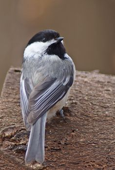 Black Capped Chickadee - by cherylorraine smith