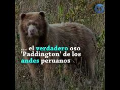 Oso dorado peruano captado por primera vez en cámara - YouTube Oso Paddington, Brown Bear, Youtube, Animals, First Time, Animales, Animaux, Animal, Animais