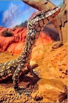 The Perenti (a species of goanna) is Australia's largest lizard