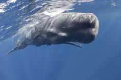 Epic Photos Of The Divers Swim With Sperm Whales