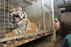 Dartmoor Zoo: Behind the scenes with the big cats