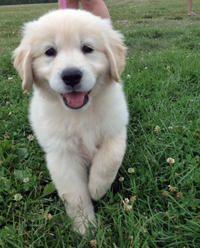 Ella the Golden Retriever puppy - a beauty!