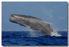 Sperm whale breaching (from the blog Ten pages (or More) )