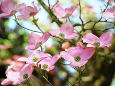 white dogwood flowers - Google Search
