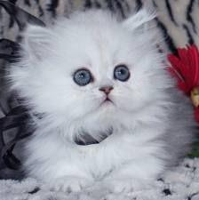 petit chats avec plein de poil mignon et blanc