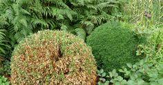 Seit einigen Jahren breitet sich in Deutschland das Buchsbaum-Triebsterben aus. Inzwischen gibt es jedoch Möglichkeiten, die Pilzkrankheit einzudämmen.