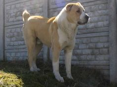 Central Asian Ovcharka.. I will have this dog one day