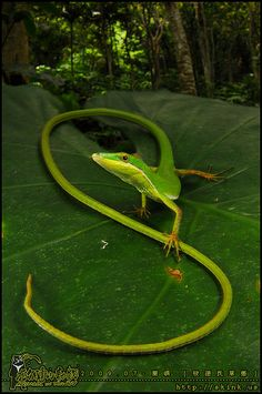 Formosan Grass Lizard   long-tailed grass lizard inhabiting Orchid Island, a tropical island off the southeastern coast of Taiwan.