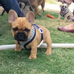 Follow @stellathefrenchiebebe & use #stella_and_friends or #topdogsofinstagram 4 Feature. . Vid Cr: @archie.frenchie