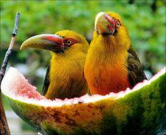 watermelon anyone?  Two Tucans  At Hotel Simon near Itatiaia the two tucans had…
