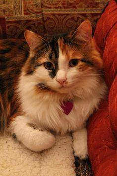 "*Lisa Brown*  ""Kandi""  our Calico Cat   Pretty girl!"