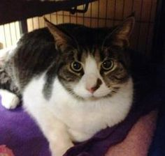Adopt a Homeless Cat | Bubbles H (and Gideon H) | Domestic Short Hair | Furrever Friends Rescue & Volunteers, Inc.