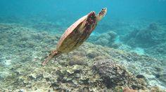 Turtle vor Gili Meno Gili Island, Islands, Whale, Turtle, Animals, Indonesia, Whales, Turtles, Animales