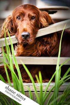 Irish Setter melts my heaRT