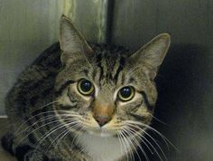 2 year old Benny needs out of NYCACC NOW!!! TO BE DESTROYED 5/29/13 Brooklyn Center  My name is BENNY. My Animal ID # is A0964918. I am a male brn tabby domestic sh mix. The shelter thinks I am about 2 YEARS   I came in the shelter as a STRAY on 05/10/2013 from NY 11212, owner surrender reason stated was STRAY.