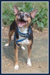 HERO is an adoptable Manchester Terrier Dog in Marietta, GA. Hero is so cute and loveable!� He would make a great lap dog.� He knows how to sit on command.� Hero is a 5 year old, 18 pound, tri-color M...