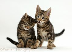 Tabby kitten biting his brother's ear