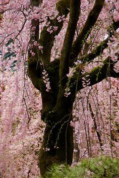 gyclli: Sakura (fleurs de cerisier) la ville de Kyoto, au Japon 平安 神宮 の 枝垂れ桜 / par nobuflickr