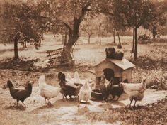 Untitled Farmyard Scene -Dog Watching Chickens Photographisches Centralblatt: 1901