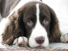 English Springer Spaniel . . . . they always have such adorable expressions and are so loveable!