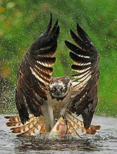 Aguila al vuelo...!