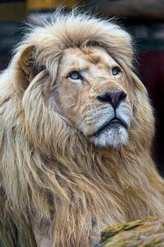 The pretty Bouba - - A portrait of Bouba, the male lion father, looking calm and a bit upwards. Lion Love, Cute Lion, Large Animals, Zoo Animals, Wild Animals, Animals Planet, Lion Mane For Cat, Lion's Mane Jellyfish, Lion Photography