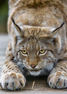 "North American ""Bobcat"" (Lynx rufus) Containing 12 Recognized Subspecies - it Appeared during the ""Irvingtonian Stage"" Around 1.8 million Years Ago - it Ranges from Southern Canada to Central Mexico, Including most of the Contiguous United States"