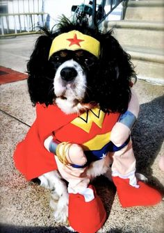 Georgia in Drexel Hill, PA    This is the best costume ever! Georgia will be a hit on Halloween!    By Kelly  Item Pictured:  Wonder Woman Dog Halloween Costume