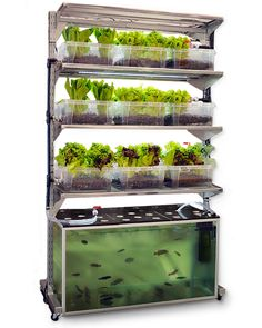 Diy aquaponics system design aquaponics fish,aquaponics small fish tank basement aquaponics,diy aquaponics australia do yourself aquaponic greenhouse. Aquaponics System, Indoor Aquaponics, Aquaponics Fish, Aquaponics Greenhouse, Fish Farming, Hydroponic Lettuce, Home Hydroponics, Aquaponique Diy, Easy Diy