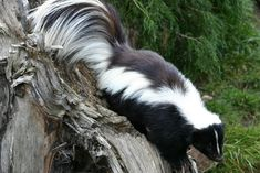 Striped skunk at London Zoo Beautiful Creatures, Animals Beautiful, Cute Animals, Skunk Smell Remover, Skunk Facts, Skunk Repellent, Striped Skunk, Baby Skunks, Animal Totems