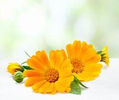 Körömvirág (Calendula)GyógyhatásaTradicionális gyógyszere a májgyulladásnak (sárgaság). Az epe túltermelést visszafogja, a gyulladást gátolja, a májat regenerálja. Izzasztó, immunerősítő hatása a lázas meghűlések, Influenza, Calendula, Plants, Flowers, Plant, Planets