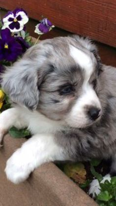 More About The Australian Shepherd Puppies Size Australian Shepherd Red Tri, Australian Shepherd Puppies, Aussie Puppies, Puppies And Kitties, Cute Puppies, Cute Dogs, Teacup Puppies, Corgi Puppies, Pomeranian Puppy