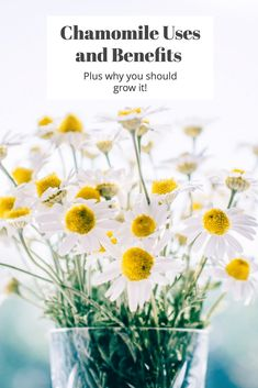 Chamomile: Uses and
