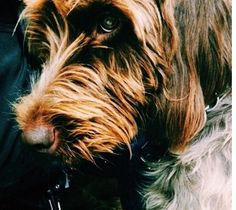 Phoebe the wire-haired Pointing Griffon