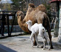 camel with an albino colt at Skazka Zoo, Yalta, Ukraine - photo [by] ITAR-TASS / Landov Amazing Animals, Animals Beautiful, Adorable Animals, Melanistic Animals, Rare Albino Animals, Baby Camel, Tier Fotos, Pet Birds, Animal Kingdom