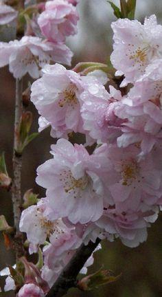 SIERKERS winterbloeiend (febr, maart, ...)PRUNUS SUBHIRTELLA 'AUTUMNALIS ROSEA'
