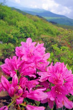 Summer rhododendron on the Art Loeb Trail in Pisgah National Forest near the Blue Ridge Parkway in North Carolina