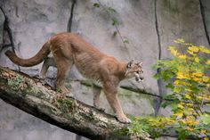 Koala killed at L.A. Zoo, and famous urban mountain lion P-22 may be to blame