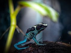 A dyeing poison frog is perched atop a coconut shell in this National Geographic Photo of the Day.