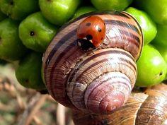 Ladybug on snail